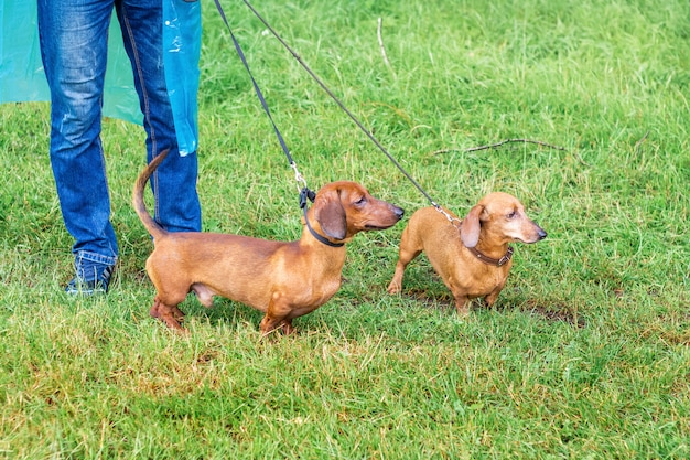 Bruine hondentekkel die in het park loopt