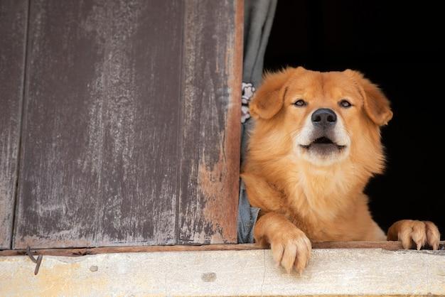 Bruine hondzitting op de vensterbank en kijkt naar buiten het oude venster