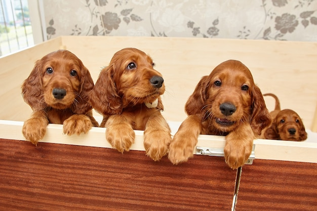 Bruine ierse setter-puppy's in een houten hol