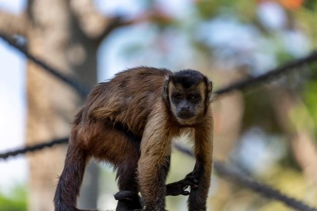 Bruine kapucijnaap (cebus-capucinus) op tak van boom. selectieve focus shot van aap zittend op een log in de natuur. een grappige kleine makaak kijkt opzij. kapucijnen jonge aap zittend op een oud logboek