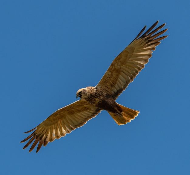 Bruine kiekendief (circus aeruginosus) roofvogel tijdens de vlucht