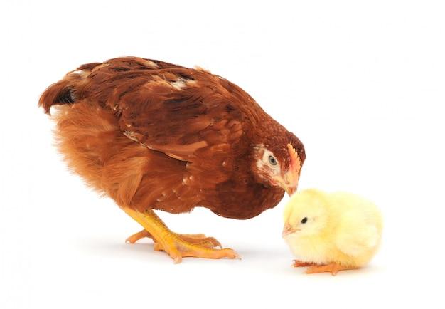 Bruine kip en kuiken