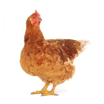Bruine kip geïsoleerd op wit, studio-opname