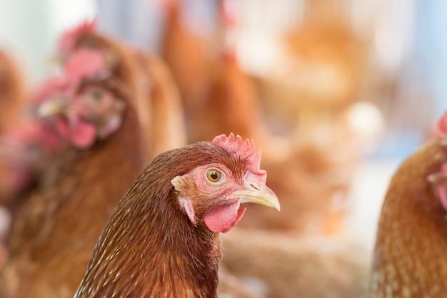 Bruine kip wachten voer in stal op de boerderij.