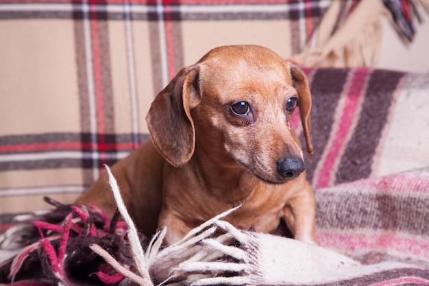 Bruine kleine tekkel die op de bank ligt. huisdieren. comfort