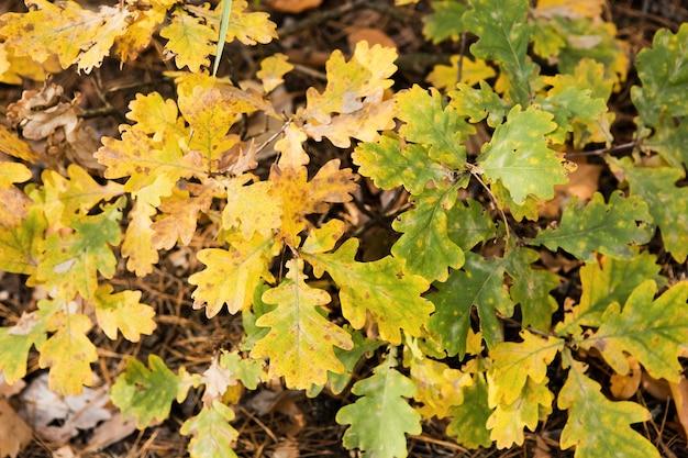 Bruine kleurrijke eikenbladeren gevallen op de bosbodem. herfst eikenbladeren achtergrond