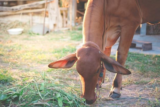 Bruine koe die gras of hooi in het plattelandsgebied eet.