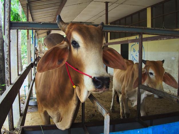Bruine koe die zich in een box in het landbouwbedrijf bevindt