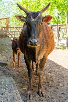 Bruine koe en kalf op een boerderij op een zomerdag. schattig huisdier.