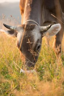 Bruine koe in een weiland in de bergen net voor zonsondergang