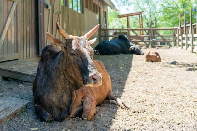 Bruine koe op een boerderij op een zomerdag. schattig huisdier.