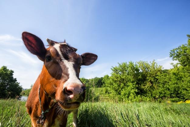 Bruine koe op groene weide
