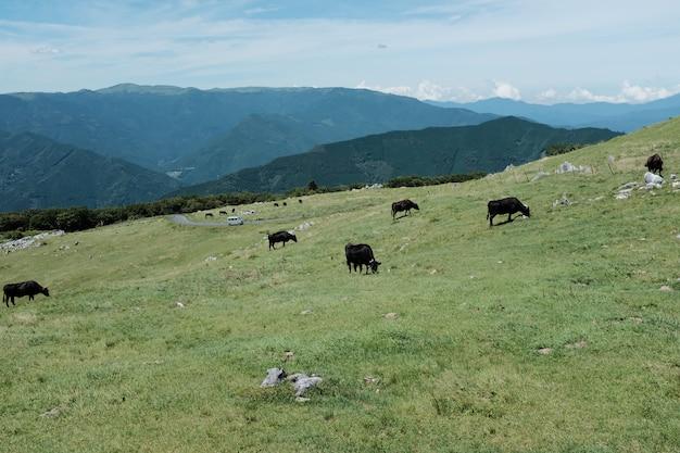 Bruine koeien die op het grasgebied weiden op een heuvel die door bergen onder een blauwe hemel wordt omringd