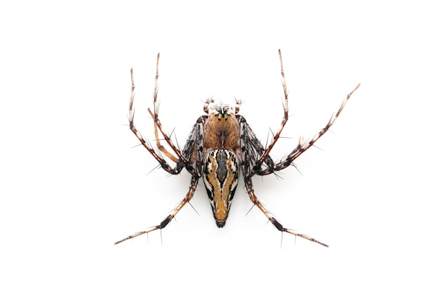 Bruine lynxspinnen. van bovenaanzicht. insect. dier