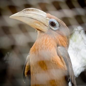 Bruine neushoornvogel, roestigwangige neushoornvogel (anorrhinus tickelli)