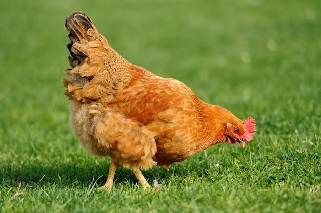 Bruine open uitloop kip in gras bedekt veld