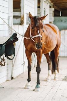 Bruine paardenstandaard in de lichte houten stal klaar om te rijden.