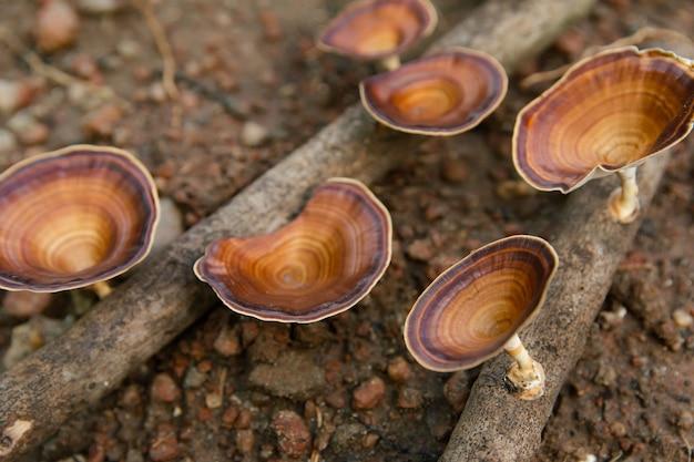 Bruine paddenstoel microporus xanthopus fr. kuntze op boomtak