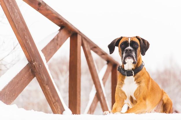 Bruine pedigreed hond die in de sneeuw op een brug ligt. bokser. mooie jagerhond