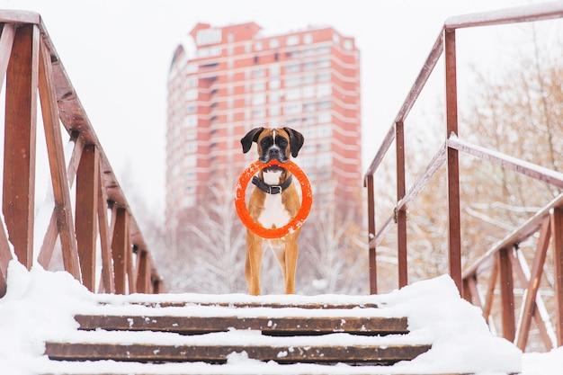 Bruine pedigreed hond met oranje cirkelstuk speelgoed die op de brug op de achtergrond van groot huis blijven. bokser