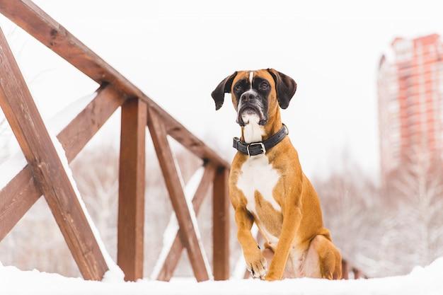 Bruine pedigreed hondzitting in de sneeuw op een brug. bokser. mooie jagerhond