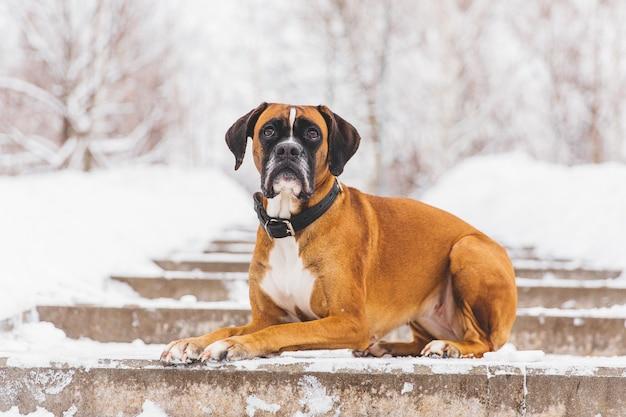 Bruine pedigreedhond die op de sneeuwweg liggen. bokser. mooie jagerhond