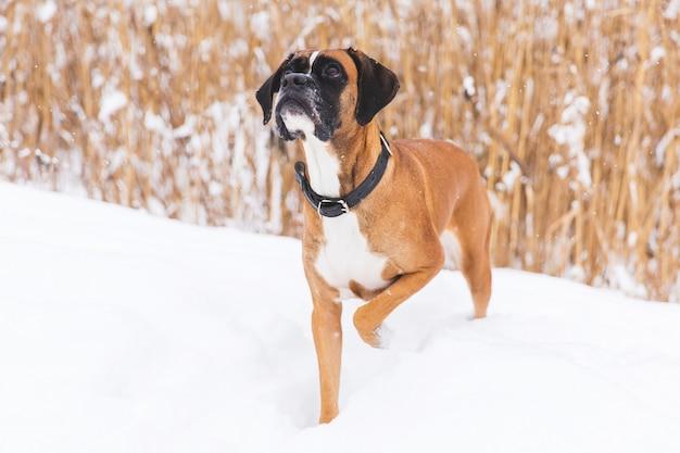Bruine pedigreedhond die op het sneeuwgebied lopen. bokser. mooie jagerhond