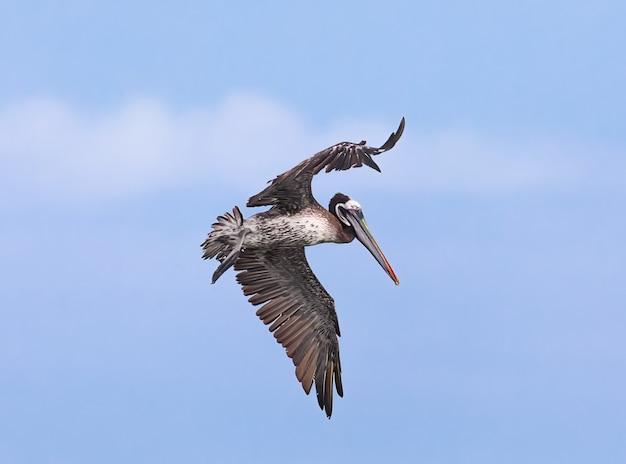 Bruine pelikaan in vluchten lima peru