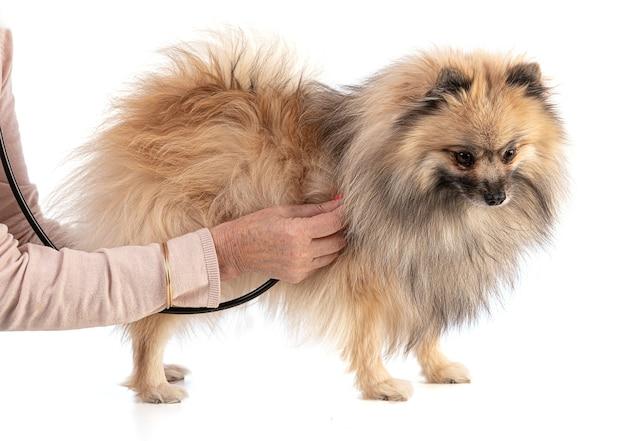 Bruine pommerse hond wordt gecontroleerd op een wit oppervlak