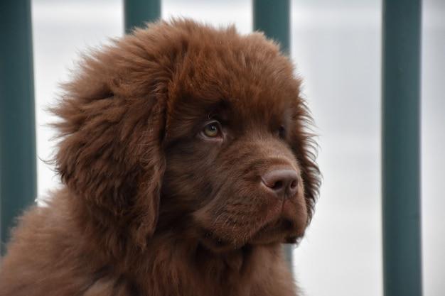 Bruine puppy uit newfoundland ziet er een beetje verdrietig uit