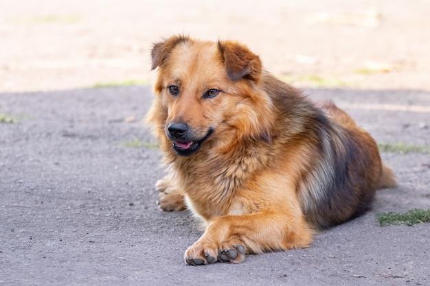 Bruine ruige hond liggend op het asfalt