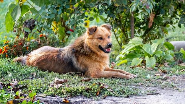 Bruine ruige hond ligt in de tuin onder een rozenstruik