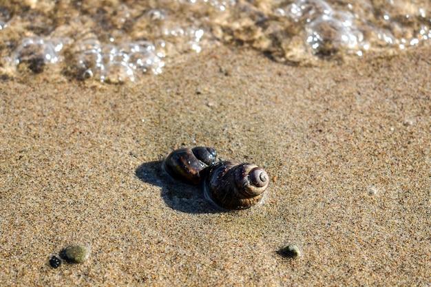 Bruine schelp op zand op de voorgrond, kleine kiezels, close-up rivierslak.