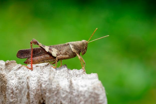 Bruine sprinkhaan op stomp. insect. dier.