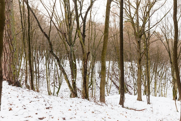 Bruine stammen van kale loofbomen onder de sneeuw, winterlandschap