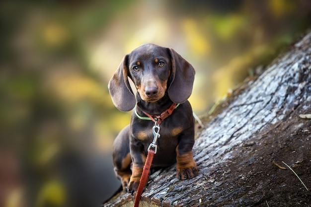 Bruine teckels puppy in de natuur