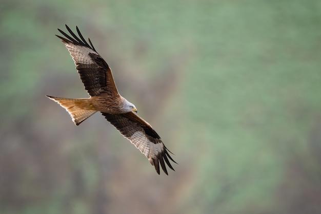 Bruine vleermuis havik die in de lucht vliegt op een onscherpe achtergrond