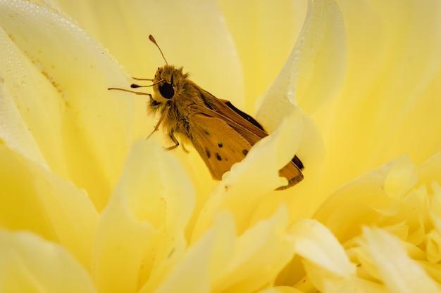 Bruine vlinder op gele bloem