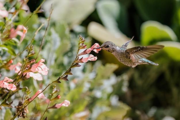Bruine zoemende vogel die over rode bloemen vliegt