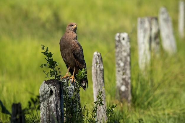 Bruinkoppige koevogel zat overdag op een stenen hek in een groen veld