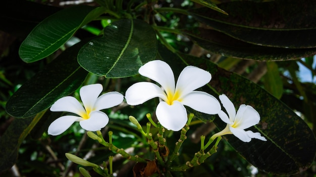 Brunch van wit van tiare bloemen op groene buitenshuis achtergrond