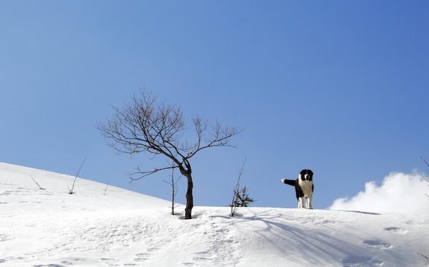 Bucovina herdershond staande in de sneeuw