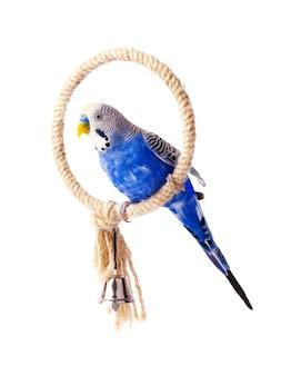 Budgie blauw, geïsoleerd op wit. grasparkiet op de stok