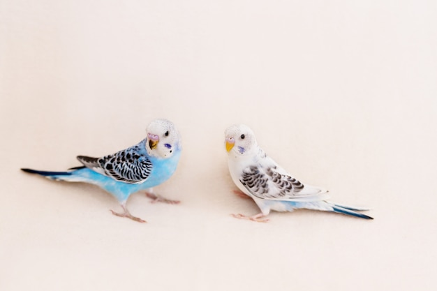 Budgies van wit en blauw op een witte achtergrond