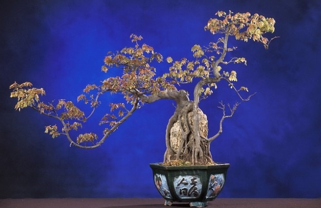 Buergerianum bonsai acer