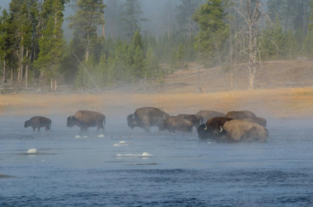 Buffalo (bison) fording firehole river als de stoom opkomt in de vroege ochtend