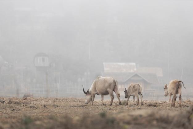 Buffalo-familie loopt om gras te vinden om te eten in een landelijk dorp.