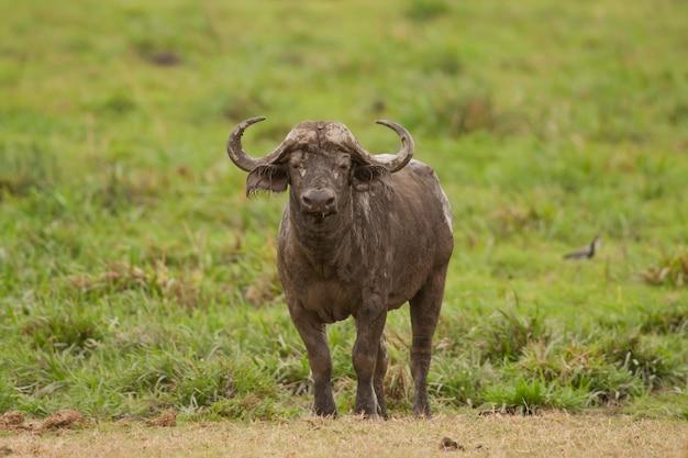 Buffalo in de savanne