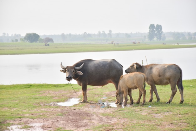 Buffalo op het gras.