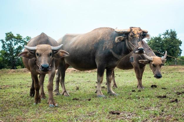 Buffaloes van thailand in rijstgebied